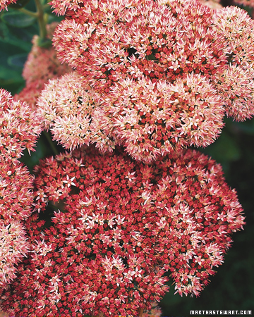 Fall perennials - Tough perennial bloomers drought insect and pest resistant flowers ...
