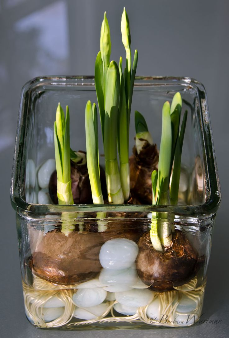Flower of the month archives scenic roots garden center december flower of the month paperwhites mightylinksfo